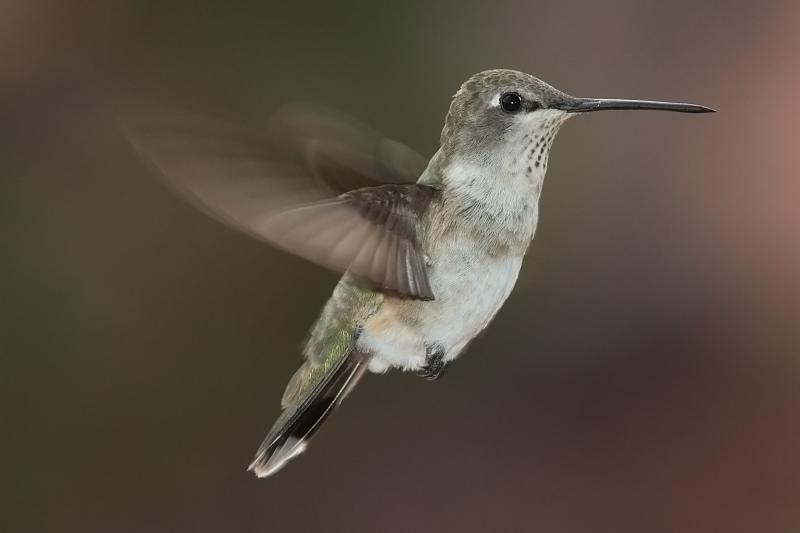 Hummingbird in het Natuurwoordenboek