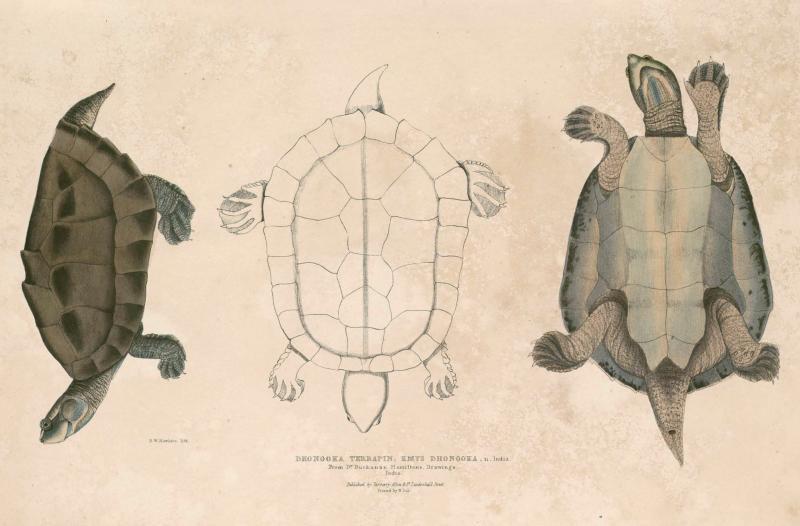 Orde Schildpadden Mwb Natuurwoordenboek Nl En
