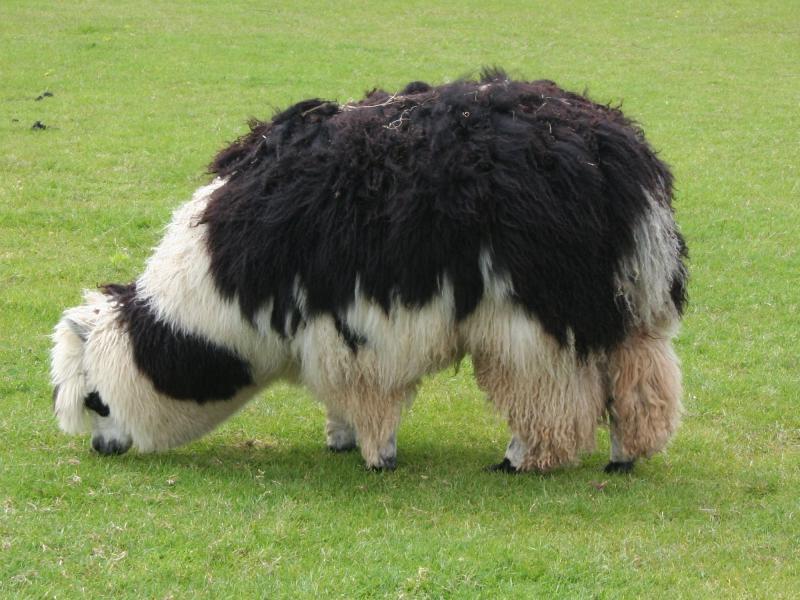 Alpaca  in het Natuurwoordenboek