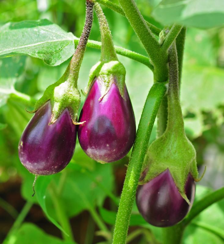 Eggplant in het Natuurwoordenboek
