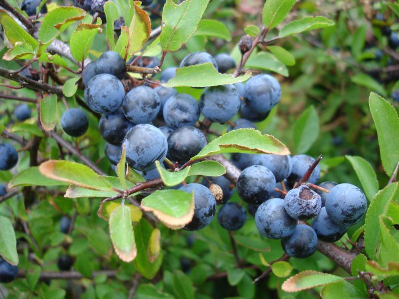 Slaapkamergeluk Plant : Orde: Bloeiende planten - MWB ...