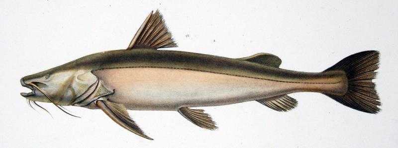False Spotted Catfish : catfish - MWB Natuurwoordenboek EN-NL