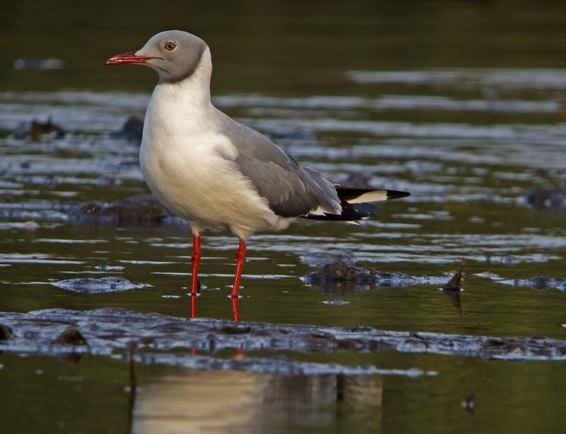 Grey headed gull vertaling engels duits for Ladenblok vertaling engels